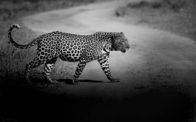 buff_leopard_pkg_thumbs